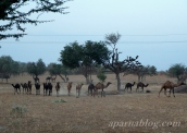 Camel herd viewed from highway!