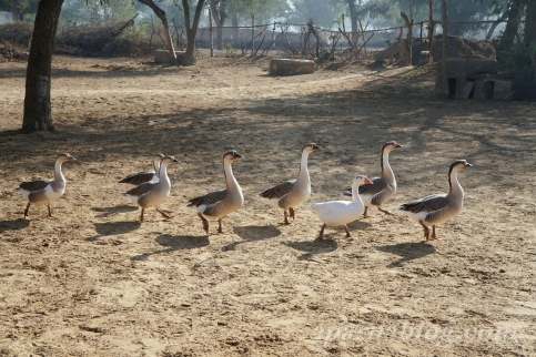 Royal ducks in the Nawalgarh palace.
